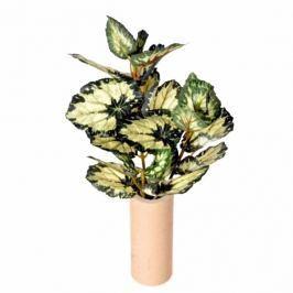 Művirág begónia zöld-sárga
